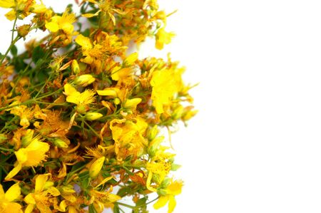Yellow St. Johns wort flowers isolated on white background with free space for text