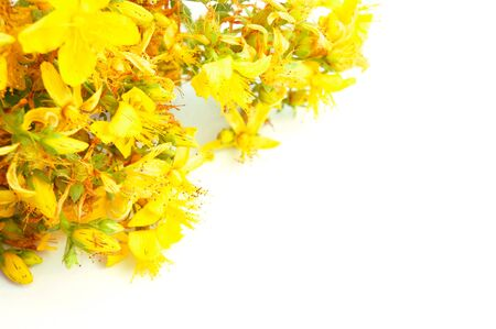 Yellow tutsan flowers isolated on white background with copy space