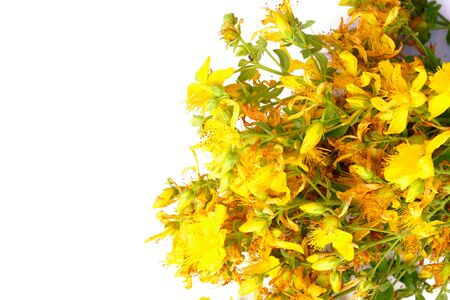 Yellow hypericum flowers isolated on white background with copy space