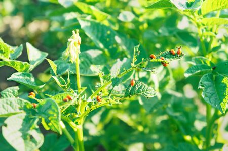 Green foliage of potato bush that many red Colorado beetle larvae eat Banque d'images