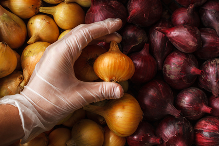 food inspection: Quality control: hand in glove check onion. man holding onion in rubber glove