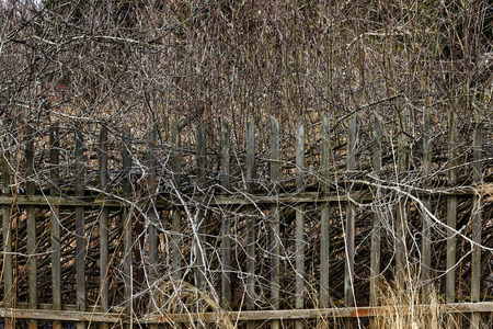 protruding: Old rickety wooden fence with protruding branches of bush