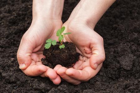 earth handful: girl holding a strawberry seedlings on soil background
