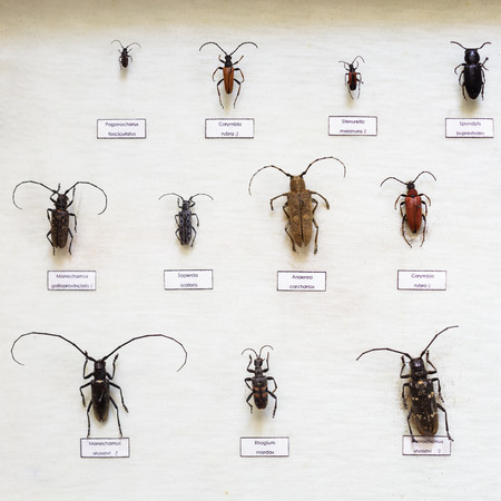 blackspotted: Passion for entomology: a variety of beetles with long antennae, dried in a special showcase Stock Photo