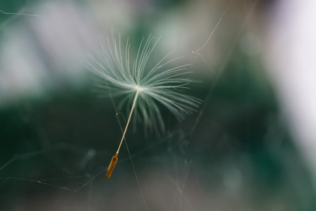 dandelion seed: Dandelion seed flying through the air. Gentle blur of color on a green background Stock Photo