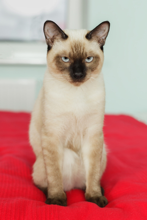 overbearing: Severe and serious Thai cat looking strictly. Wait for the host. Haughty and self-pet