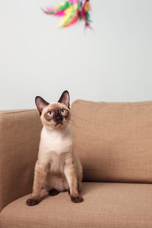 overbearing: Thai cat playing with a toy. Have fun with pet Stock Photo
