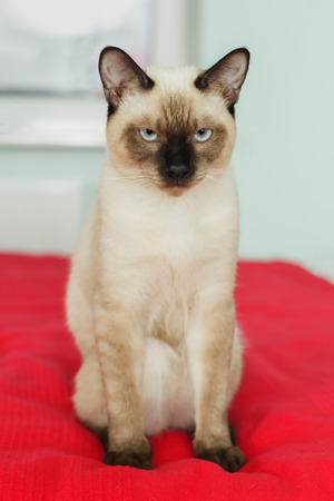 strictly: Severe and serious Thai cat looking strictly. Wait for the host. Haughty and self-pet