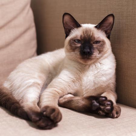 desprecio: Gato tailandés joven que se sienta en el sofá como un hombre y mira con desdén a lo que está sucediendo a su alrededor. El odio y el desprecio en sus ojos. Foto de archivo