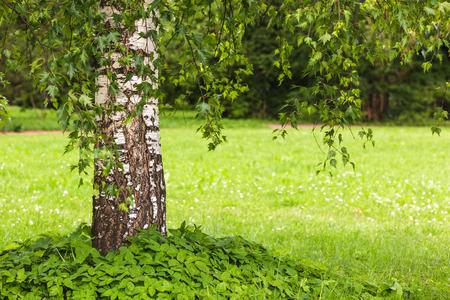 betula pendula: Betula pendula Dalecarlica - extremely rare form of birch with delicate leaves.