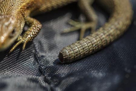 regeneration: Lizard short tail. Regeneration and recovery after injury