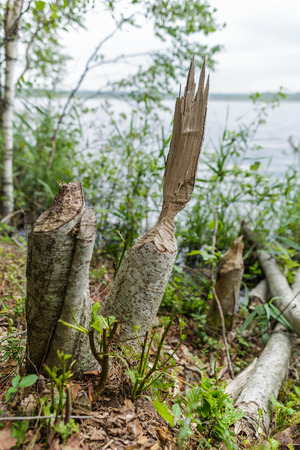 Beaver gnawed wood for the construction of the dam Stock Photo
