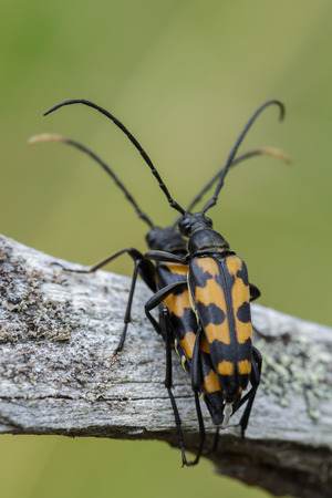 Breeding insects in nature. Two beetle sex