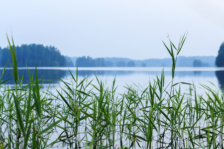 thicket: Thicket of reeds on a clean lake Stock Photo