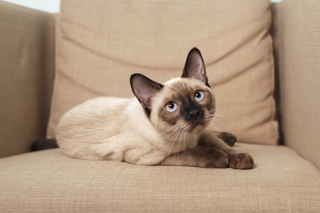 Young Thai cat sitting on the couch like a man and looks disdainfully at what is happening around him. Stock Photo