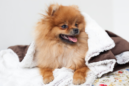 A beautiful pomeranian dog woke up and looked out from under the blankets