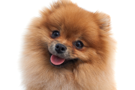 Portrait of a young orange pomeranian spitz close up