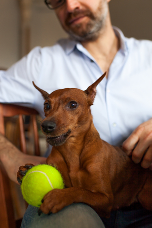 miniature breed: dog is resting with its owner playing with beloved ball