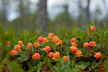 Cloudberry grow in the forest in Russia Archivio Fotografico