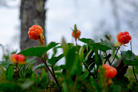Cloudberry grow in the forest in Russia Stock Photo