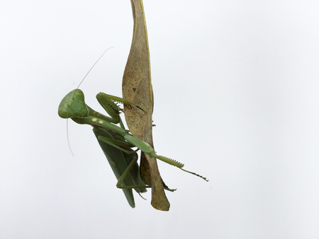 Closeup image of green mantis looking into camera on white background. Tropical insect