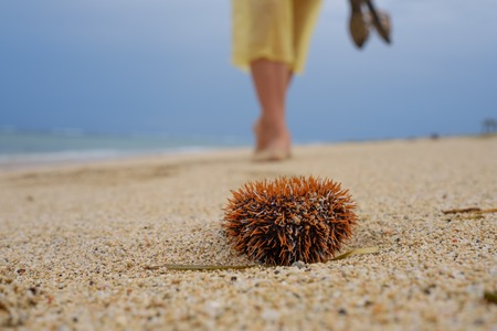A man walks along the beach and is about to step on a poisonous sea urchin. Danger on vacation in a tropical country.