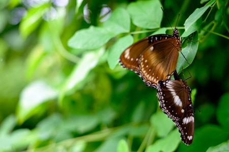 Two beautiful brown butterfly sitting on the leaves of the trees on Bali Stockfoto