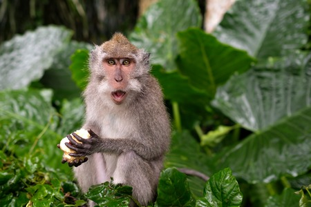 Young Macaque Monkey eat on background of green leaves
