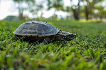 푸른 잔디에 천천히 걷는 작은 거북이. 측면보기