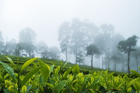 Beautiful view on tea plantation in Haputale Sri Lnaka. The weather is misty and you can see fog betweeen trees Stock Photo