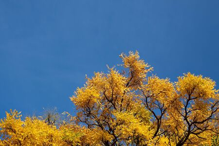 Yellow fall leafs and branches of trees over the blue sky