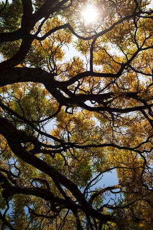 Yellow fall leafs and branches of trees
