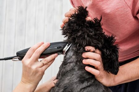Shaving dogs face at home. Groomer cutting fur of small black schnauzer