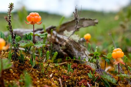 Cloudberry growning on swamp closeup in summer. Fresh wild berry