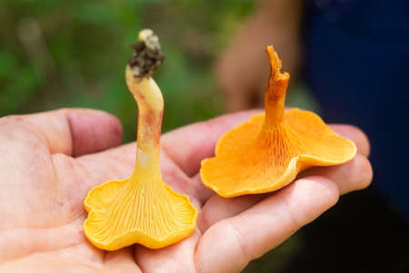 Compare orange chanterelle and false chanterelle on hand