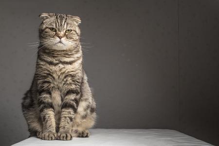 Schwangere dicken grauen gestreiften scottishfalte Katze auf einem Tisch mit einem weißen Tuch und schaut in die Kamera überdachte Sitz