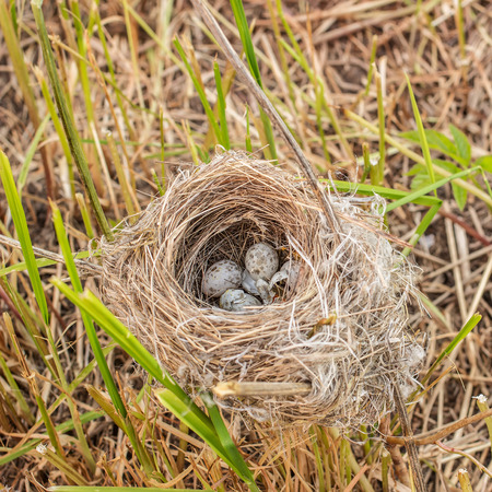devastated: devastated nest with small speckled eggs with damaged shell lies on the grass clippings Stock Photo