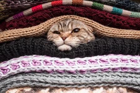 tejido de lana: gato enojado está preparando para el invierno, envuelto en una pila de ropa de lana Foto de archivo