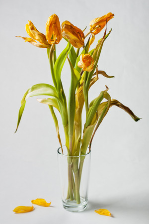 Withered yellow tulips in a vase with no water
