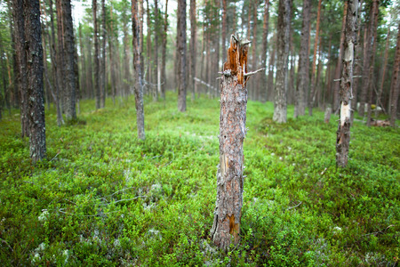 broken tree in the middle of a forest clearing with blueberries Stock Photo