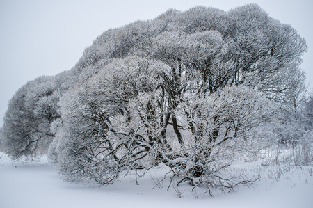 salix fragilis: Salix fragilis (brittle willow) trees covered with snow and similar to crown caps isolated on sky background in winter frost
