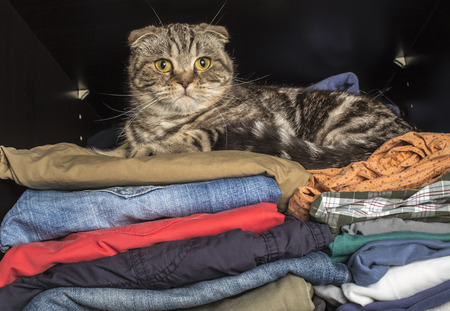 scottish fold cat sprawled on clothing in the wardrobe