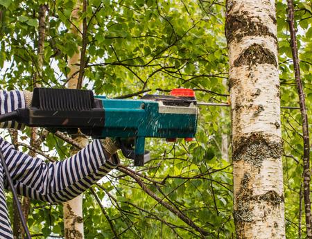 felled: man cut away fresh birch, using electric chainsaws Stock Photo