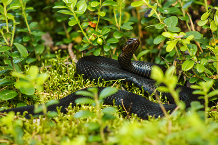 forked: black viper snake basking in the sun in the grass