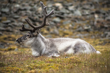 Old, big, wild reindeer with horns in their natural habitat in arctic tundra on svalbard meadow Stock Photo