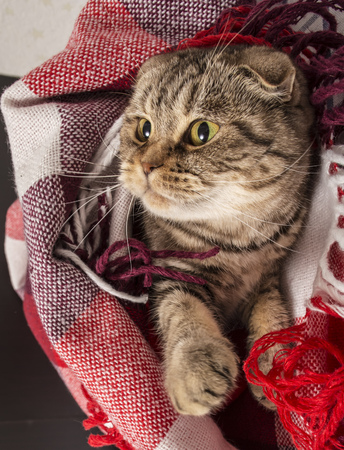 Scottish Fold cat lies under the checkered colored plaid, for something watching head turned to the right