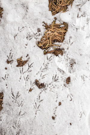 vogelspuren: bird tracks in the snow next to the dry grass