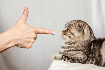 A person in anger pokes the index finger in a frightened cat Scottish Fold, which is afraid to move Stock Photo
