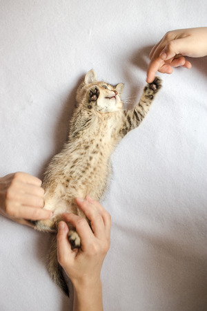 babysit: people are playing with his hands with a nice kitten British golden chinchilla ticked