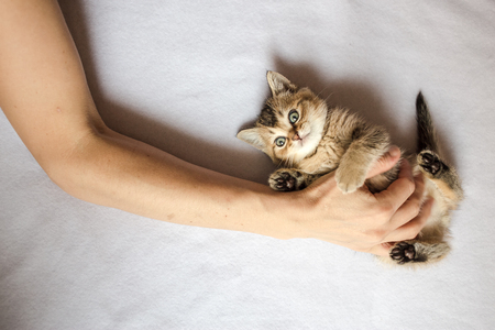 babysit: person laid his hand on belly the cute little kitten British golden chinchilla ticked Stock Photo